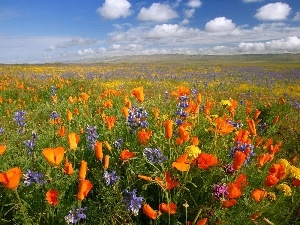 papavers, lupine, Meadow