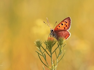 Lycaena, Colourfull Flowers, butterfly
