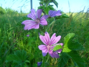 Flowers, mallow, purple