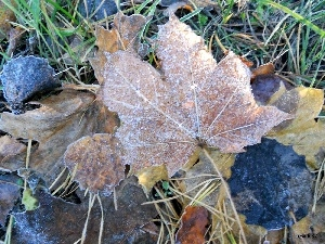 maple, White frost, Leaf