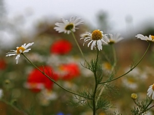 Meadow, Flowers, chamomile, White