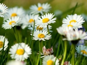 Meadow, daisies