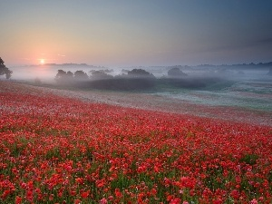 Fog, Meadow, papavers