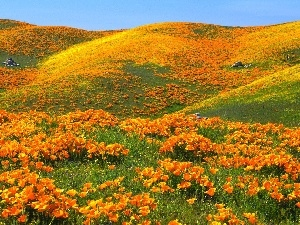 Meadow, The Hills, papavers