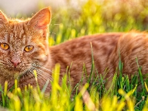 kitten, Meadow, ginger