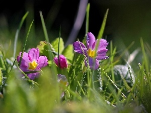 Meadow, grass, purple, Flowers