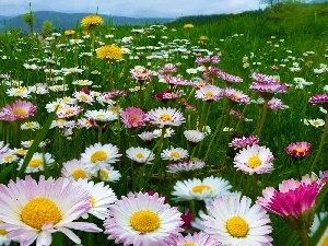daisies, Mountains, Meadow