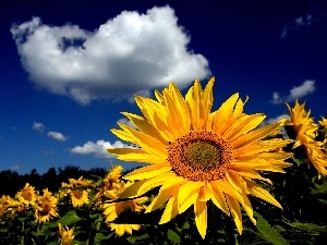 clouds, Nice sunflowers