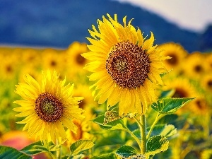 Flowers, Nice sunflowers