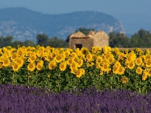 Narrow-Leaf Lavender, Nice sunflowers