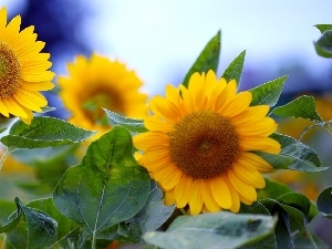 Leaf, Nice sunflowers