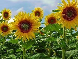 Sky, Nice sunflowers