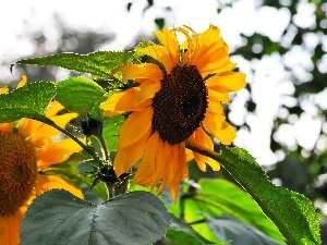 Nice sunflowers