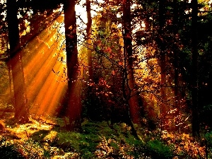 rays of the Sun, forest, trees, autumn, viewes