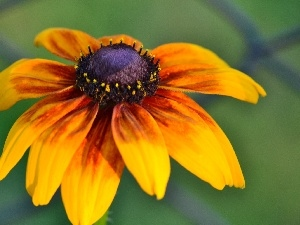Orange, Rudbeckia