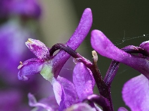 orchid male