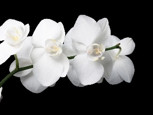 orchids, White