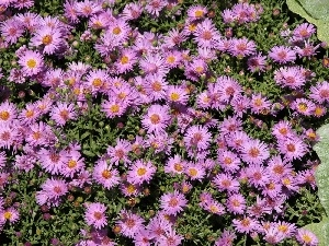 ornamental, Flowers, Aster amellus