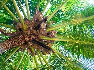 Palm, coconuts
