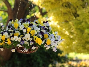pansies, hanging