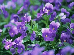 pansies, purple