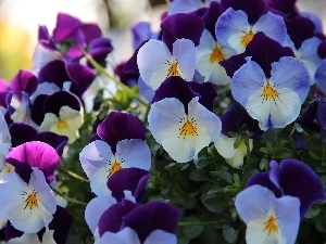 purple, pansies, White