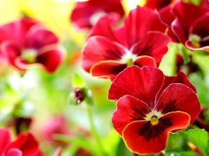 pansies, Red