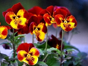 Yellow, pansies, maroon