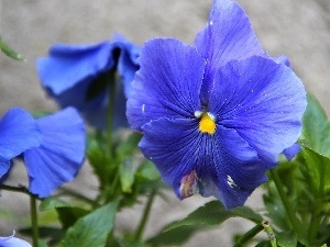 pansy, blue