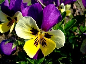 pansy, color