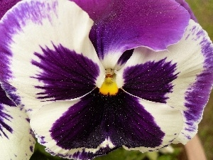 White, pansy, purple