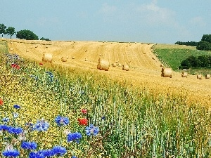 papavers, corn, Field, cornflowers, Meadow