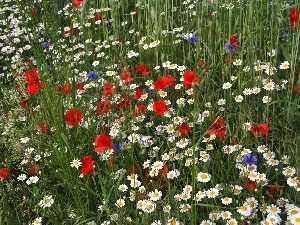papavers, cornflowers, Meadow, Flowers