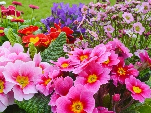 Park, Flowers, flowerbed, primrose, color