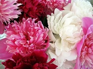 Peonies, Colored