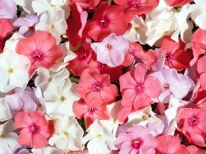 color, phlox, Flowers