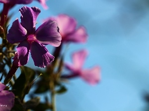 phlox, purple