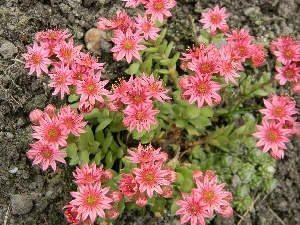 Flowers, Pink, Sempervivum