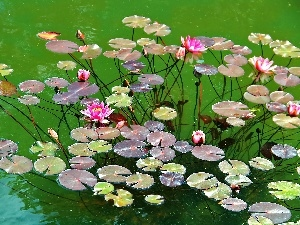 water, Pink, lilies