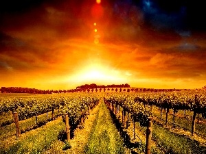 plantation, vineyard, west, sun