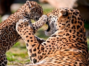 play, Leopard