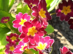 primrose, Pink and yellow