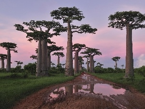 Way, Baobab, trees, Puddles, viewes