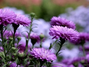 change, purple, Chrysanthemums