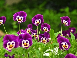 faces, purple, pansies