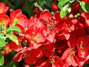 quince, Blossoming, Red, Flowers