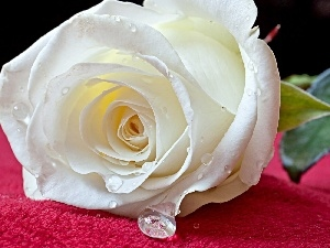 rain, drops, White, rose