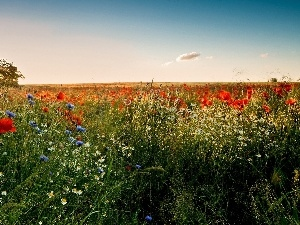 rays, cornflowers, camomiles, Meadow, sun, papavers