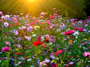 rays, Cosmos, Meadow, sun, Flowers
