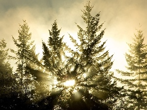 rays, Spruces, trees, sun, viewes